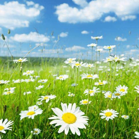 Фотообои Природа. Ромашковое поле